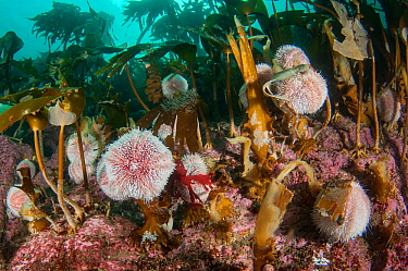 Edible sea urchins (Echinus esculentus) grazing under a kelp forest, Scotland, UK, October.