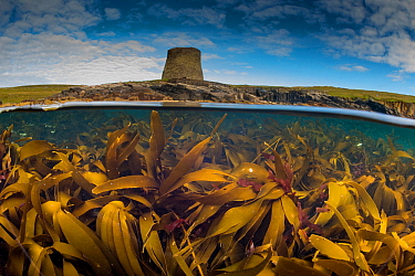 Split level view of a Kelp forest (Laminaria hyperbore) at Mousa Broch (iron age tower) Shetland, Scotland, UK, August.