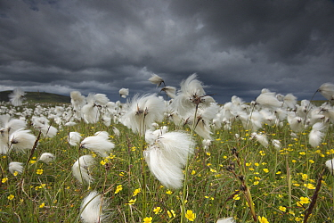 Cotton grass (Eriophorum angustifolium) flowering, Shetland, Scotland, UK, July.