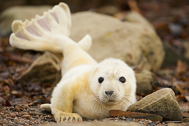 Young grey seal pup (Halichoerus grypus) recently born on a beach in Orkney, Scotland, UK, April.