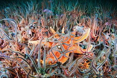 Yellow sun star (Solaster endeca) amongst Brittle stars (Ophiothrix fragilis) on a Horse mussel bed (Modiolus modiolus) Sheltand Islands, Scotland, UK, September.