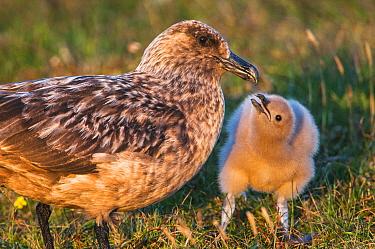 Great Skua (Catharacta skua) with chick, Hermaness, Shetland, Scotland, UK, July.