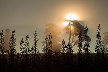 Rosebay willowherb (Chamerion angustifolium) and trees silhouetted at sunrise, Scotland, UK.August