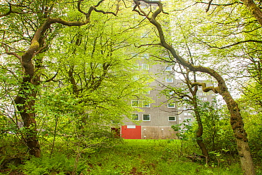 Woodland in spring with residential flat in background, Cumbernauld, Glasgow, Scotland, UK.May