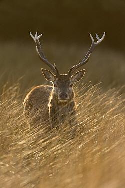 Red deer, (Cervus elaphus), stag in rough grassland, Jura, Scotland, UK., April