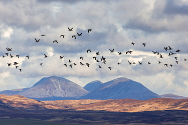 Barnacle goose (Anser brachyrhynchus) flock in flight with Paps of Jura in background, Islay, Scotland, UK, March.
