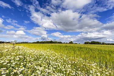 Scentless mayweed (Tripleurospermum inodorum) on field margin of wheat crop, Aberdeenshire, Scotland, UK. July.