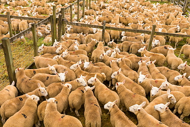 Sheep in pens at livestock auction, Scotland, UK, August.