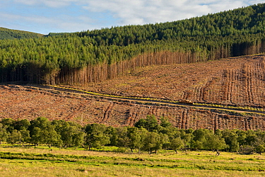 Partial felling of pine plantation, Sutherland, Scotland, UK, July 2017.