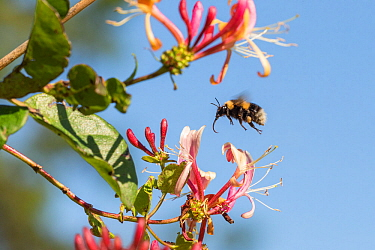 Bumblebee, (Bombus hortorum), in flight about to alight on honeysuckle flower, Scotland, UK, July.