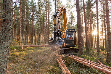 Habitat improvement - felling work in pine plantation on RSPB Abernethy Reserve, Scotland, UK, December.
