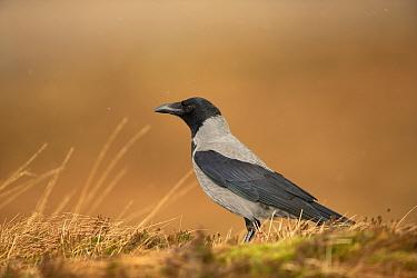 Hooded crow, (Corvus corone cornix), on ground, Scotland, UK, January.January