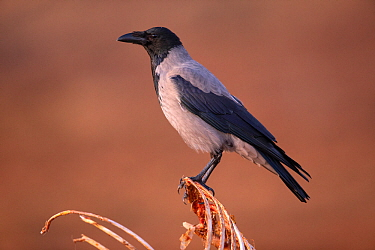 Hooded crow, (Corvus corone cornix), perched on ribs of carcass, Scotland, UK.February