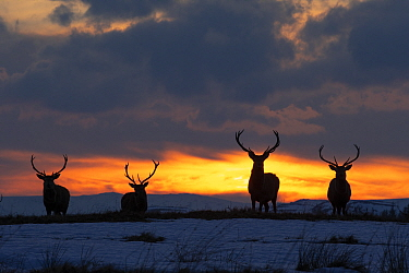 Red deer, (Cervus elaphus), stags silhouetted at sunset in winter, Scotland, UK.February