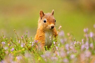 Red squirrel (Sciurus vulgaris), summer coat, close-up amongst flowering heather, Scotland, UK.August