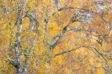 Birch trees (Betula pendula) woodland impression, Cairngorms National Park, Scotland, UK.November