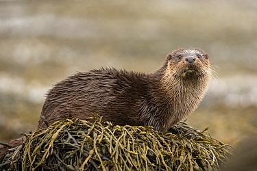European Otter (Lutra lutra), amongst kelp on shore, Scotland, UK.April