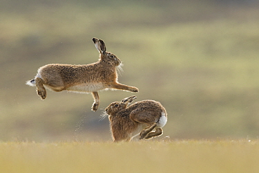 Brown hare, (Lepus europaeus), male and female displaying courtship behaviour, Islay, Scotland, UK., March