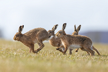 Brown hare (Lepus europaeus) male pursuing female that is in season, Islay, Scotland, UK., March