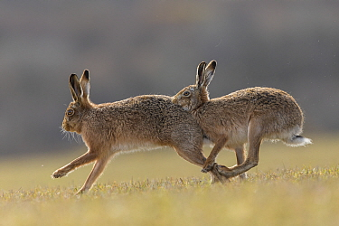 Brown hare, (Lepus europaeus) male pursuing female that is in season, Islay, Scotland, UK., March