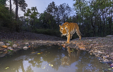 Tiger (Panthera tigris tigris) dominant male tiger approaching 'Beja pani' waterhole, Kanha National Park, Central India. Camera trap image.