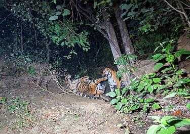 Bengal tiger (Panthera tigris tigris) violent fight between two sub adult tigers probably siblings for Gaur (Bos gaurus) calf kill. Kanha National Park, Central India. Camera trap image.