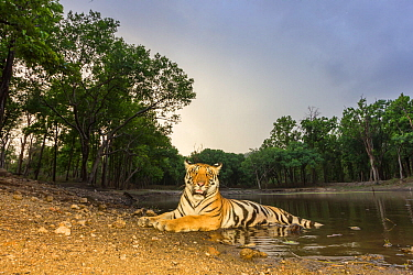 Bengal tiger (Panthera tigris tigris) sub adult tigress resting at dusk. Kanha National Park, Central India. Camera trap image.