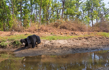 Sloth bear (Melursus ursinus) approching waterhole. Kanha National Park, Central India. Camera trap image.
