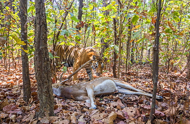 Bengal tiger (Panthera tigris tigris) tigress (T32) dragging Spotted deer / Chital (Axis axis) kill into thicket to hide it from predators and scavengers . Kanha National Park, Central India. Camera t...