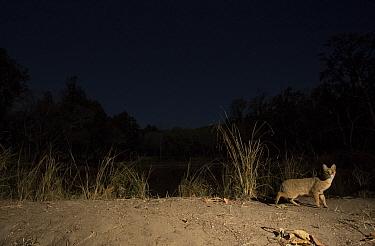 Jungle cat (Felis chaus), at night, Kanha National Park, Central India. Camera trap image.