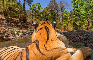 Bengal tiger (Panthera tigris tigris) dominant male (T29) and resident female (T27) cooling off in a waterhole Kanha National Park, Central India. Camera trap image.