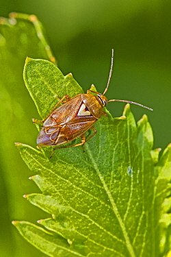 Tarnished plant bug (Lygus rugulipennis), Brockley Cemetery, Lewisham, England, May