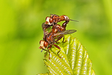 A mating pair of conopid flies (Sicus ferrugineus), New Cross Cutting, Lewisham, England, June