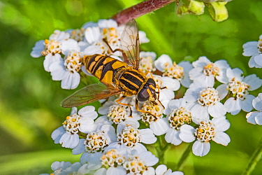 Hoverfly (Helophilus pendulus) feeding on yarrow, Brockley Cemetery, Lewisham, England, September