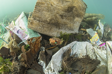 Globefish (Diodon nicthemerus) surrounded by plastic rubbish such as single use plastic bottles, cups, packaging, labels, waste and woven sacks, Sulawesi, Indonesia. November.