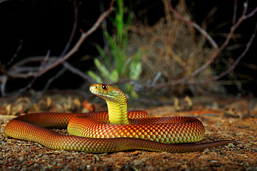 King Brown Snake (Pseudechis australis) male animal sub-adult near the town of St George in inland Queensland, Australia.