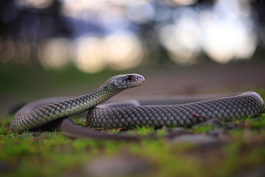 King brown snake (Pseudechis australis) central Queensland, Australia.