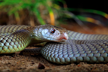 Adult male King Brown Snake (Pseudechis australis) Winton, Queensland, Australia.