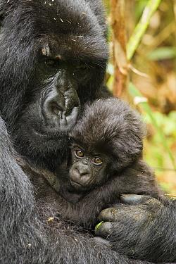 Adult Mountain gorilla (Gorilla beringei beringei) holding baby , Hirwa group, Volcanoes National Park, Rwanda