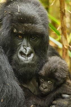Adult Mountain gorilla (Gorilla beringei beringei) holding baby, Hirwa group, Volcanoes National Park, Rwanda