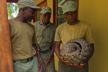 Park ranger holding a Temminck's ground pangolin (Smutsia temminckii), after rescuing it from poachers. This individual was later released back into the wild. Gorongosa National Park, Mozambique.