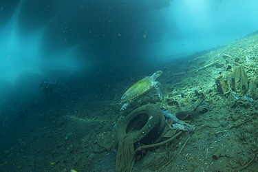 Hawksbill sea turtle (Eretmochelys imbricata) in its polluted habitat under a pier, Maluku, Indonesia. November.
