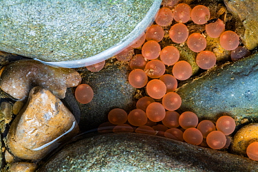 The eggs of Atlantic salmon (Salmo salar) deposited in river. Quebec, Canada. October 2018.