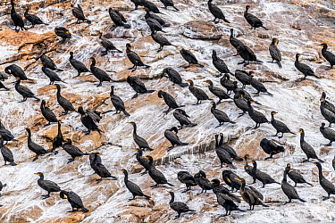 Doube-crested cormorants (Phalacrocorax auritus) roosting on the Bird Islands off Cape Dauphin, Nova Scotia, Canada. July.