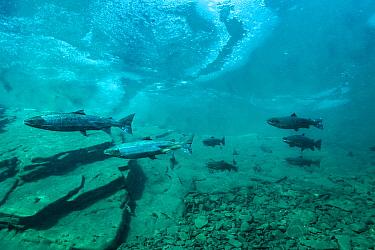 Atlantic salmon (Salmon salar) under river ice. Quebec, Canada. October.