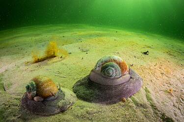 Northern moon snails (Euspira heros) move over a sandy bottom off Nova Scotia, Canada. August