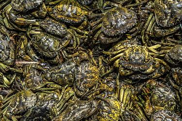 Invasive European green crabs (Carcinus maenas) collected by park staff in Kejimkujik Seaside National Park near Port Joli, Nova Scotia, Canada. July.