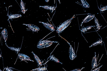 Live copepods (Calanus finmarchius) displayed on a microscope slide and photographed at the Bedford Institute of Oceanography, in Halifax, Nova Scotia, Canada.