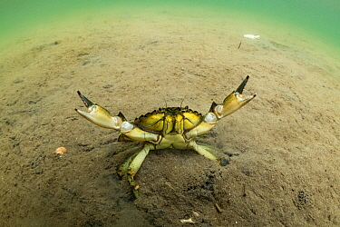 European green crab (Carcinus maenas), an invasive species in North America, Kejimkujik Seaside National Park, Nova Scotia, Canada. July.