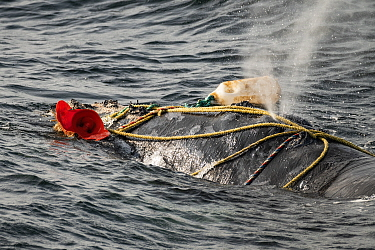Fishing ropes wrap over the blowhole of a severely entangled North Atlantic right whale (Eubalaena glacialis) in the Gulf of Saint Lawrence, Canada. Fishing gear entanglement is a leading cause of dea...